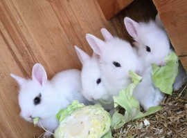 Unwanted rabbits,guineas poultry wanted