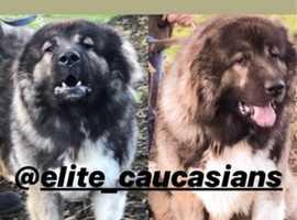 Caucasian Shepherd pups 5 Gen Pedigree