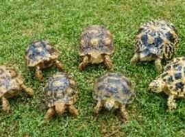 Tortoises wanted
