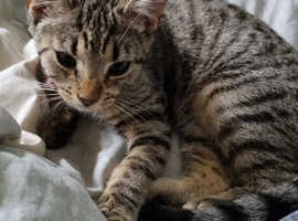 6 month old silver tabby kitten for sale