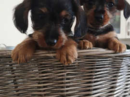 Dorkie pups