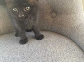 Black kittens ready now