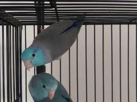 Breeding pair Blue Parroletts