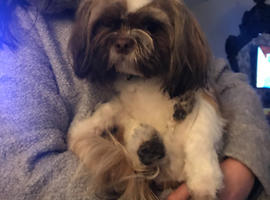 Shih Tzu Dogs Puppies For Sale Rehome In Wigan Find Dogs