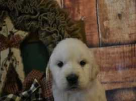 ~!!^*(Well Trained stunning English***Golden Retriever Babies %100- Kc Reg Stunning Ready Now^^ Amazing Family Pet