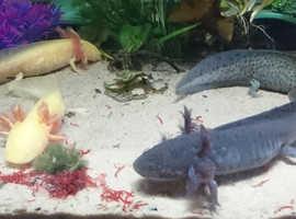 Axolotls for sale