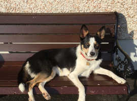 Lovely female collie 2 years old.