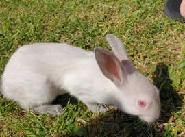 Stunning Himalayan Bunnies for sale