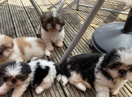 Gorgeous pure Shih tzu puppies