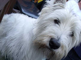 Male Westie pedigree not required