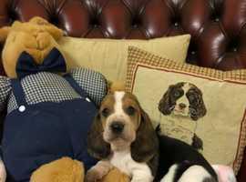 Adorable Basset Hound Pups