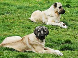 Turkish Kangal Puppies for Sale