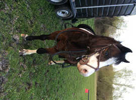 12.2h welsh section A gelding FOR SALE