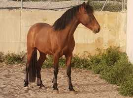 Attractive PRE X Spanish horse / From Spain