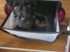 Lakeland terrier 15 weeks old.