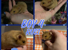 Baby Syrian Hamsters looking for forever homes