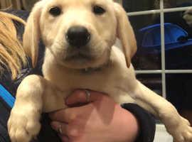 Beautiful Labrador pup