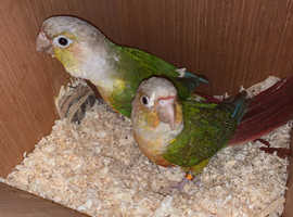 PROVEN PAIR OF PINEAPPLE CONURE