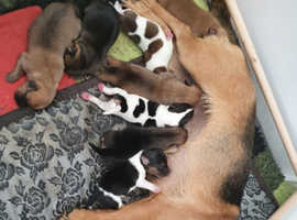 7 beautiful Jack Russell puppies ** now reduced **