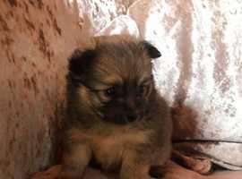 9 week old teddy bear Pomeranian puppies
