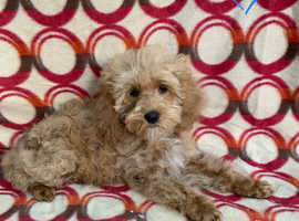 Cockapoo delightful pups ready for new homes now