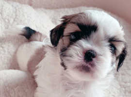 Stunning American Imperial Lines Shih Tzu Puppies