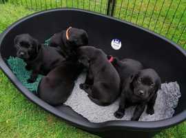 Kc reg Labrador puppies, health tested parents.