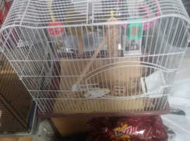 Two green canaries for sale