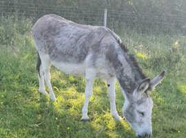2 donkey in foal