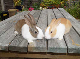 Purebred Baby Dutch Rabbits