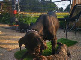 Cane corso puppies ready to go