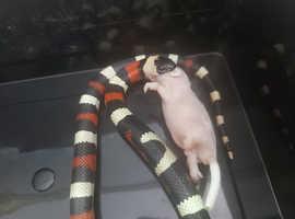 2021 Female Pueblan Milk Snake