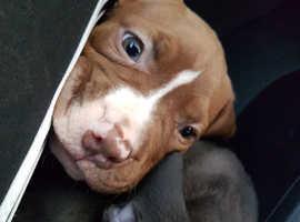 XXL America Bully Puppy