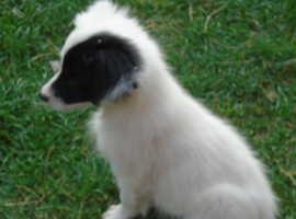 Border Collie Puppy white and black tri - price negotiable.