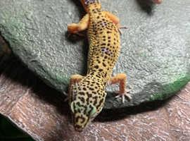 Leopard geckos babies