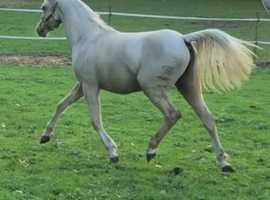 Top class palomino filly