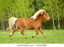 Looking for standard ridden Shetland