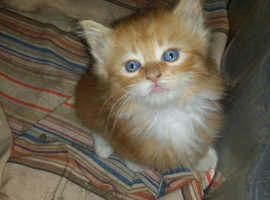 Very handsome fluffy ginger male kitten for sale