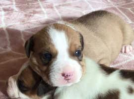 Stunning boy bulldog pup
