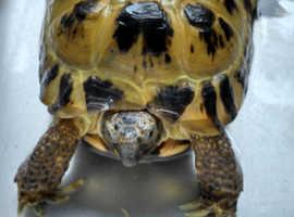 Horsefield Tortoise and vivarium