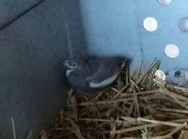 1 quail