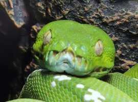 Green tree pythons ARU & BIAK