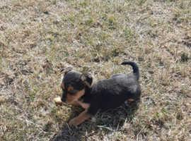 Miniature Pomeranian x jack russell puppy