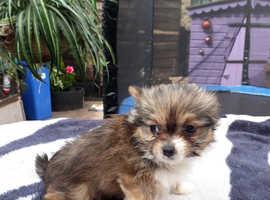 Stunning Papillon/Biewer Yorkshire Terrier pups