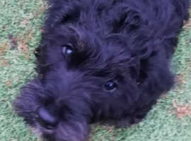 Lovely rare cesky terrier.    Black and grey    kc reg,     needs some training still,  but he s intelligent and will soon learn.       Loves his food