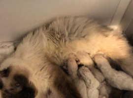 birmans kitten for sale