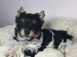 Biewer Yorkshire Terrier Boy!