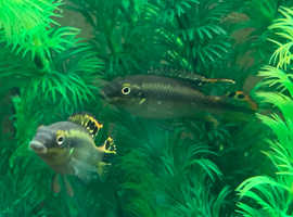 Kribensis - Fish