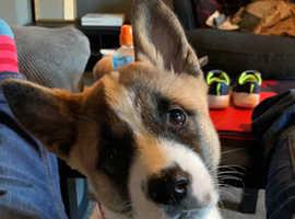 Akita puppy