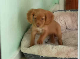 Red Cocker spaniel girl puppy
